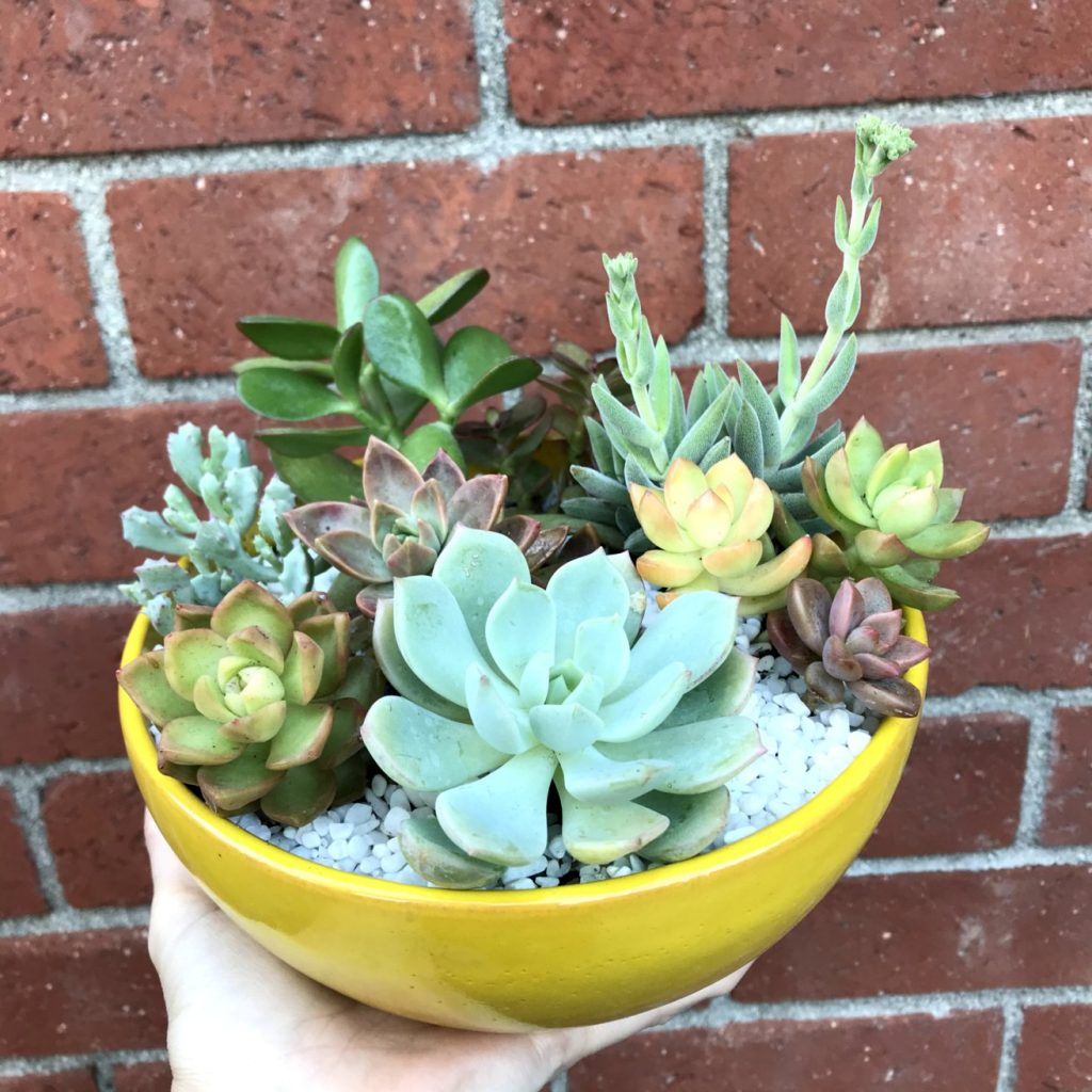 Yellow Succulent Bowl